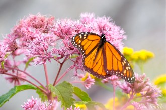 Monarch Butterfly Male Joe-pye Wildflower copyright Kim Smith