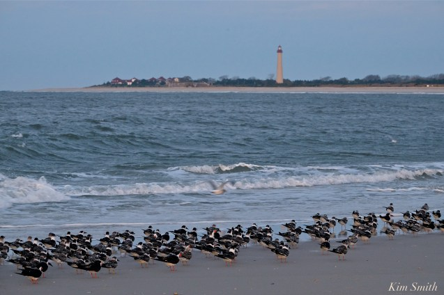 BLACK SKIMMERS Cape May copyright Kim Smith