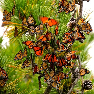 Monarch Butterflies Roosting Japanes Black Pine Stone Harbor Point New Jersey -5 copyright Kim Smith