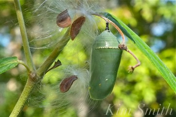 Monarch Butterfly Chrysalis and Milkweed Silk copyright Kim Smith