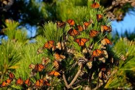 Monarch Roost Stone Harbor Point Black Pine -5 copyright Kim Smith