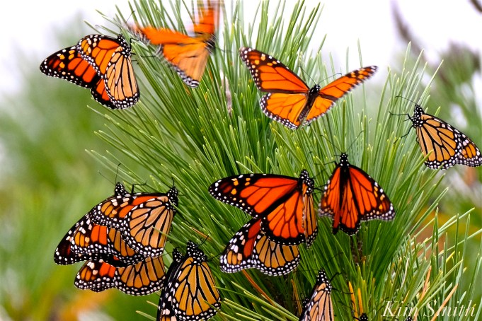 Stone Harbor Point Monarch Butterflies Roosting Japanes Black Pine New Jersey copyright Kim Smith