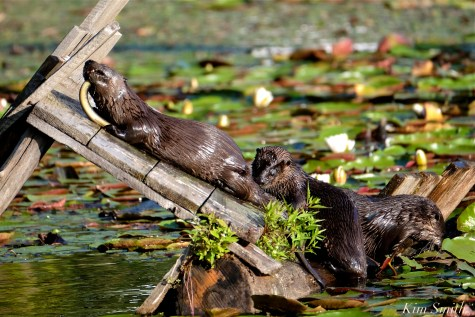 Three North American River Otters Eating American Eels Gloucester MA copyright Kim Smith