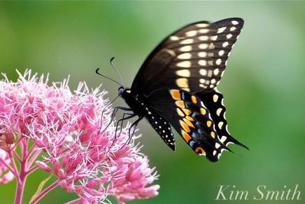 black-swallowtail-butterfly-male-joe-pye-wildflower-copyright-kim-smith