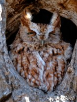 Eastern Screech Owl Red-morph copyright Kim Smith