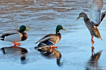 male-female-mallards-ice-copyright-kim-smith