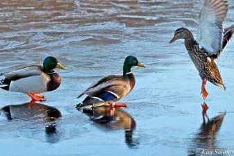male-female-mallards-ice-copyright-kim-smith