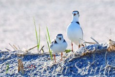 Piping Plover Courtship Dance copyright Kim Smith