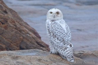Snowy Owl Bubo Foggy Day Injured Eye Gloucester MA copyright Kim Smith