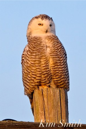 Snowy Owl Hedwig Female Gloucester MA copyright Kim Smith