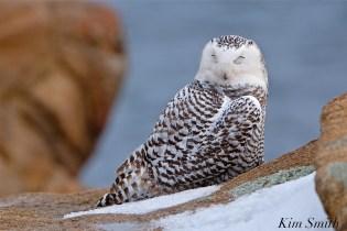 Snowy Owl Sleeping Bubo scandiacus Backshore Gloucester MA copyright Kim Smith