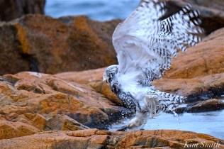 Snowy Owl Taking a Bath Hedwig Gloucester MA-29 copyright Kim Smith