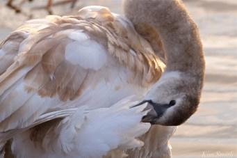 Young Swan Niles Pond First Hatch Year Cygnet -4 copyright Kim Smith
