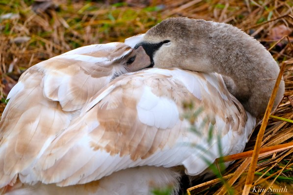 Young Swan Sleeping Niles Pond First Hatch Year Cygnet copyright Kim Smith