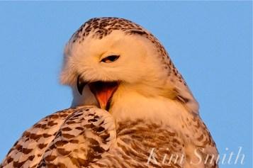 Snowy Owl Hedwig Yawning copyright Kim Smith