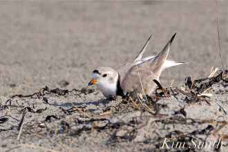 Piping Plovers Breeding Courtship Nest Scrape Good Harbor Beach Gloucester MA copyright Kim Smith