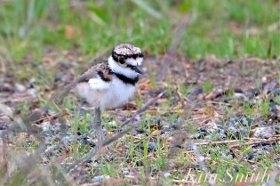 Killdeer Plover Chick Good Harbor Beach Gloucester MA -19 copyright Kim Smith