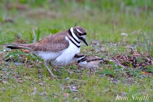 Killdeer Plover Chick Good Harbor Beach Gloucester MA -22 copyright Kim Smith
