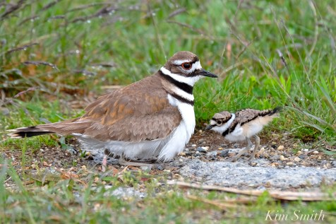 Killdeer Plover Chick Good Harbor Beach Gloucester MA -44 copyright Kim Smith