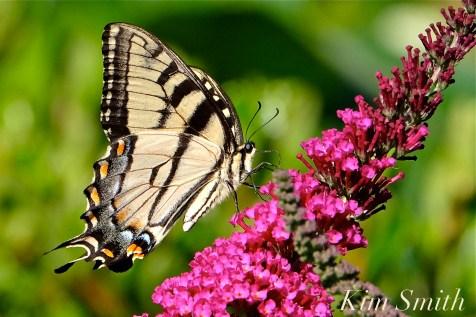 Eastern Tiger Canadian Tiger Swallowtail copyright Kim Smith