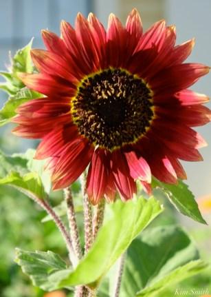 Mary Prentiss Inn Urban Pollinator Garden Cambridge MA -16 copyright Kim Smith