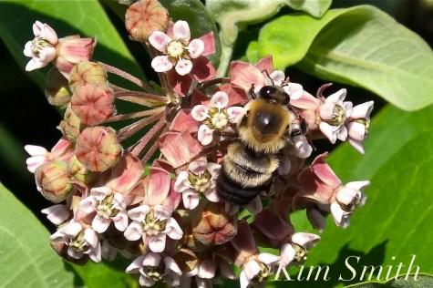 Milkweed and Bumble Bee copyright Kim Smith