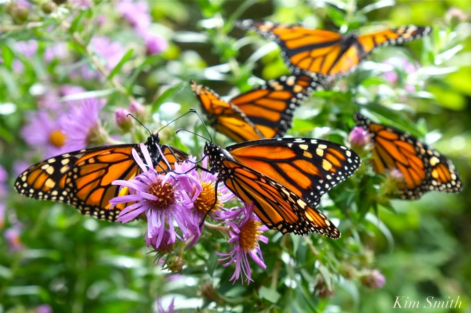 Monarch Butterflies New England Aster copyright Kim Smith