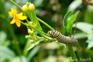 Monarch Caterpillar Tropical Milkweed copyright Kim Smith