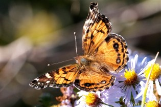American Lady Butterfly copyright Kim Smith - 04