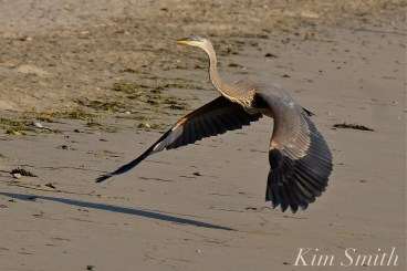 Grand Heron of the Great Marsh - Great Blue Heron copyright Kim Smith - 08