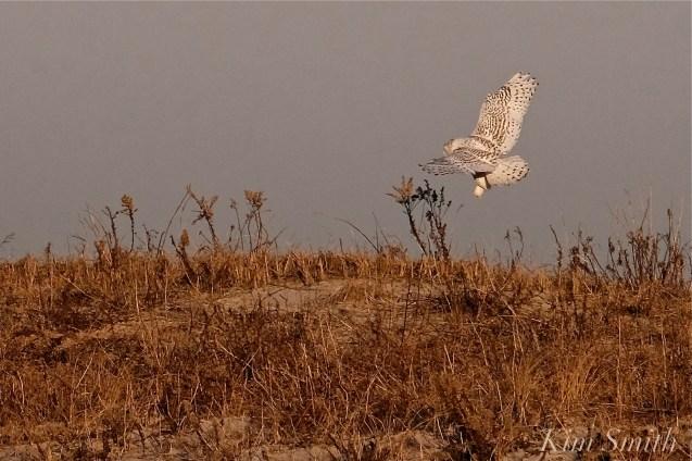 Snowy Owl Bubo scandiacus December -13 copyright Kim Smith