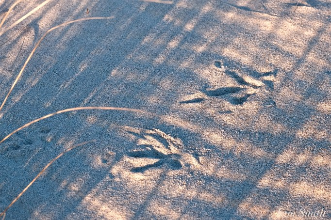 Snowy Owl Tracks Sand copyright Kim SmithJPG