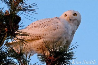 Snowy Owl Bubo scandiacus Pine Tree Massachusetts -3 copyright Kim Smith
