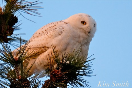 Snowy Owl Bubo scandiacus Pine Tree Massachusetts -4 copyright Kim Smith