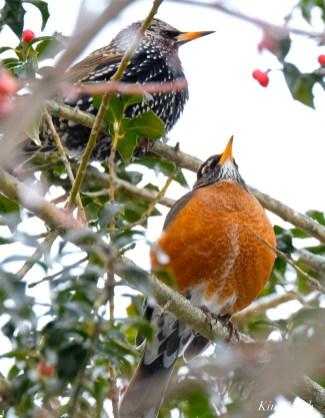 american robin european starling gloucester snowy day massachusetts -2 turdus migratorius 1-21-2019 copyright kim smith