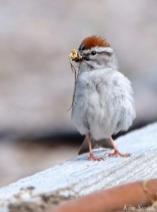 chipping-sparrow-4-copyright-kim-smith