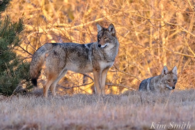 eastern-coyotes-two-canis-latrans-var-gloucester-ma-copyright-kim-smith