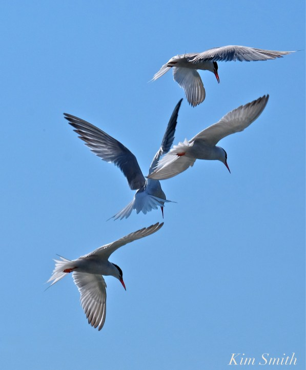 least-terns-copyright-kim-smith