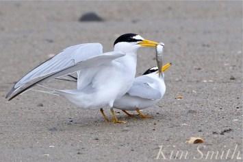 least-terns-courtship-feeding-display-21-winthrop-beach-ma-copyright-kim-smith