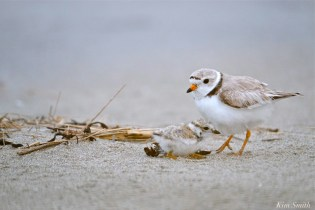 piping-plover-15-day-old-chick-good-harbor-beach-gloucester-ma-15-copyright-kim-smith1