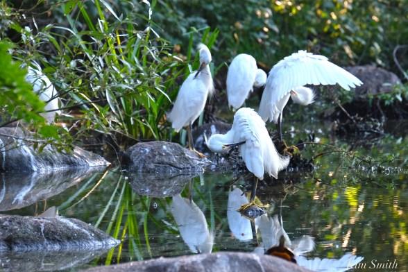 snowy-egret-preening-copyright-kim-smith1
