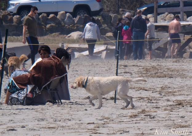 12. Dog Disturbance GHB Piping Plover Nesting 4-28-18 copyright Kim Smith