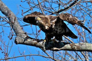 American Bald Eagle Juvenile Gloucester Massachusetts copyright Kim Smith - 09