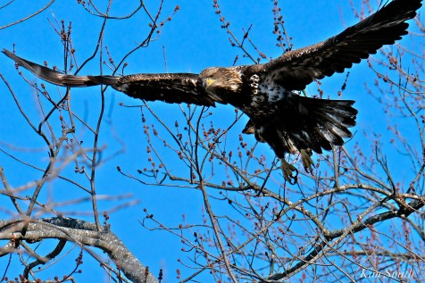 American Bald Eagle Juvenile Gloucester Massachusetts copyright Kim Smith - 13