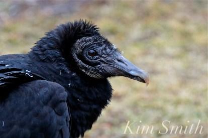 Black Vulture Gloucester Rockport Massachusetts copyright Kim Smith