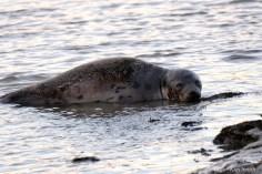 Harp Seal Juvenile Gloucester 36