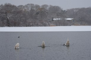 Snowy Day Swans copyright Kim Smith - 01