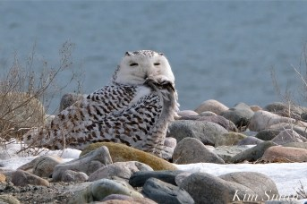 Snowy Owl Snowy Beach female copyright Kim Smith - 08