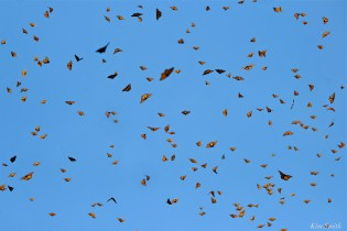 Monarch Butterflies Cerro Pelon Mexico copyright Kim Smith