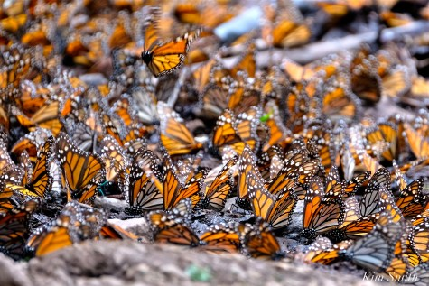 Monarch Butterflies Mud Puddling copyright Kim Smith